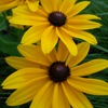 Native Missouri Rudbeckia