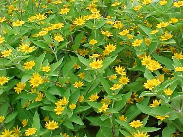 Ten best annuals for sun melampodium divaricatum mightylinksfo