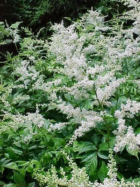perennials for seasonlong bloom, Natural flower