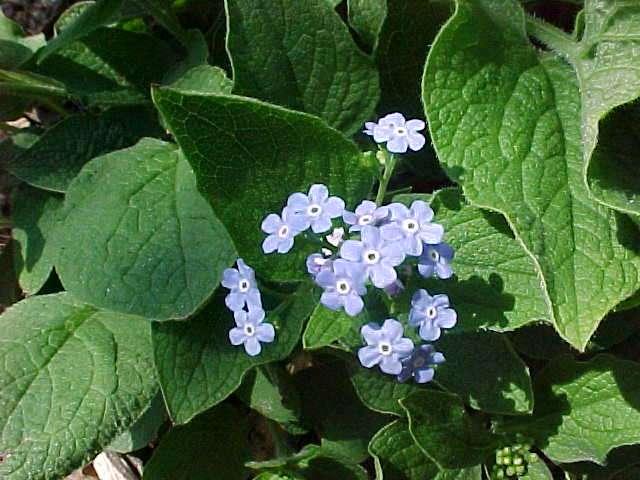 Perennials for season long bloom brunnera macrophylla mightylinksfo