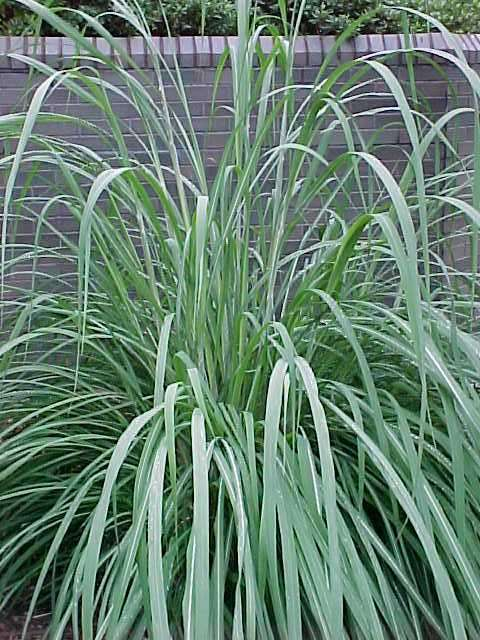 Best ornamental grasses and vines for Long ornamental grass
