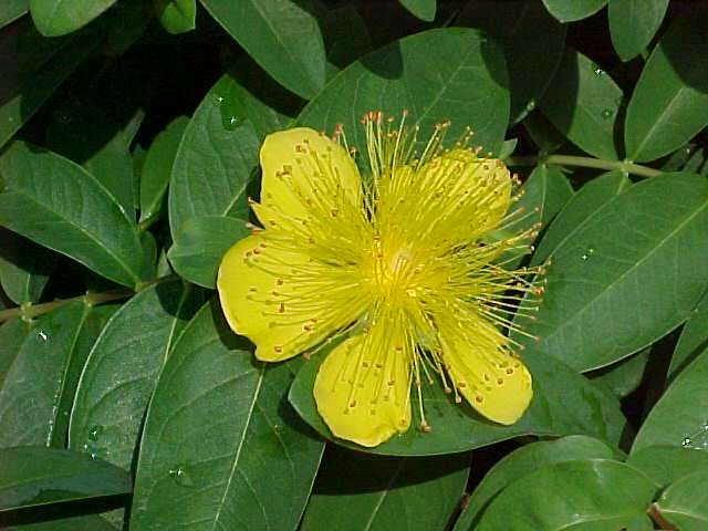 Perennials for season long bloom hypericum calycinum mightylinksfo