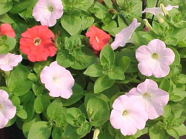 ten best annuals for sun, Natural flower