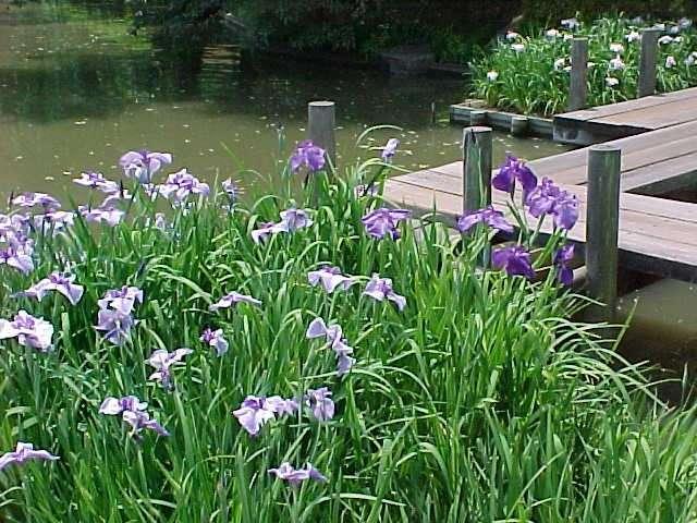 Iris Ensata Plant Finder