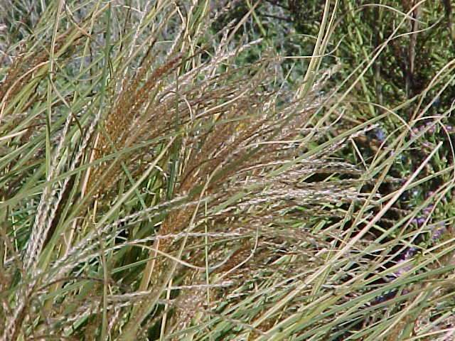 Best ornamental grasses and vines for Ornamental grasses that stay green all year