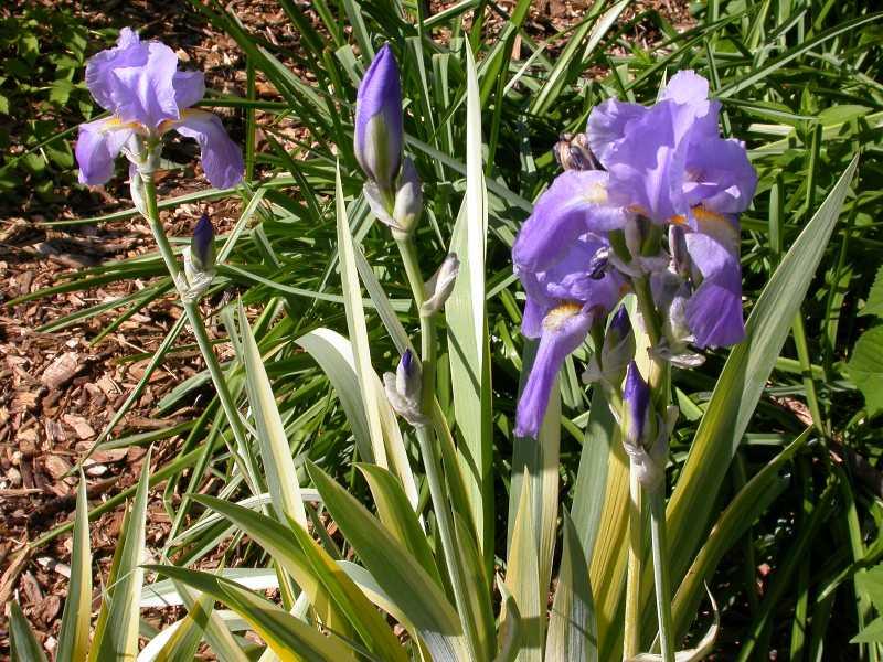 Selected perennials for oklahoma gardens iris pallida variegata mightylinksfo