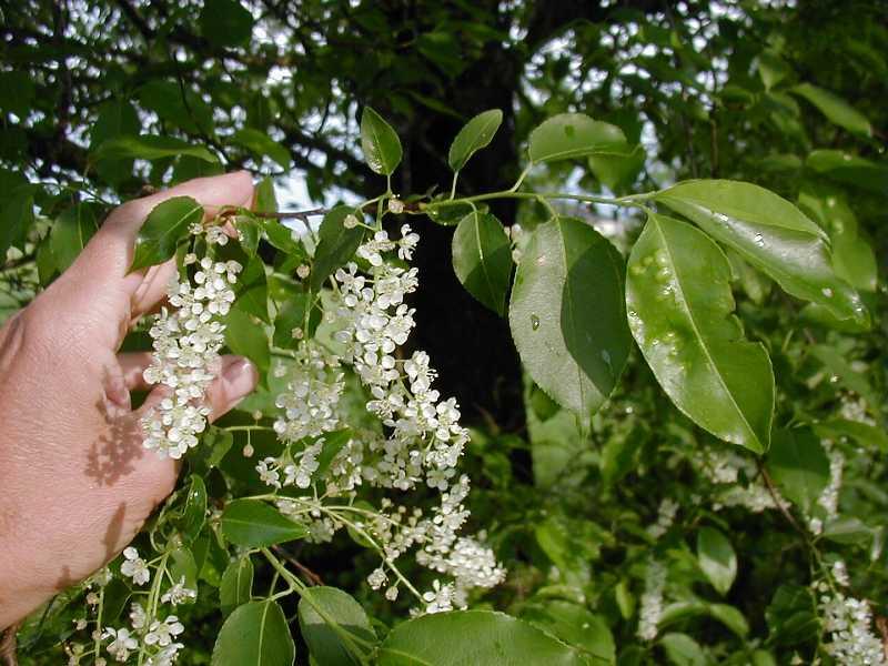 Prunus serotina plant finder Missouri botanical garden plant finder