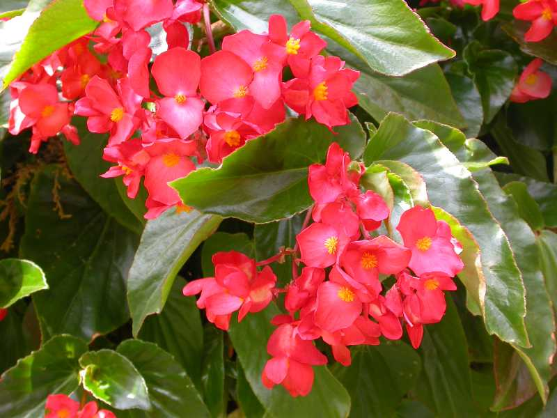 Ten best annuals for shade begonia mightylinksfo