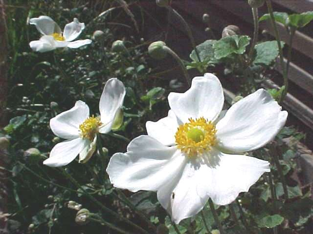 Selected perennials for oklahoma gardens anemone mightylinksfo Images