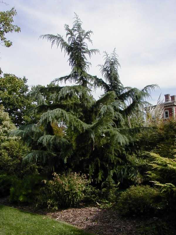 Trees for oklahoma gardens cedrus deodara publicscrutiny Image collections