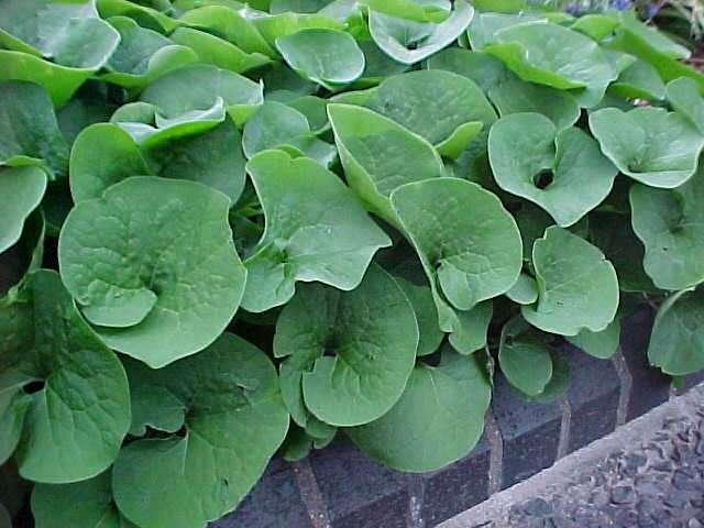 Perennials for season long bloom asarum canadense wild ginger herbaceous perennial mightylinksfo