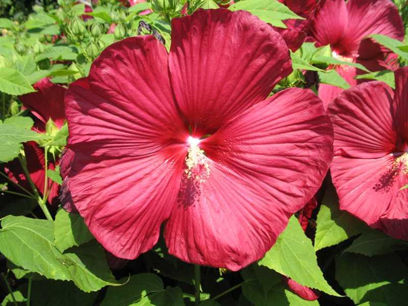 hibiscus moscheutos 39 luna red 39 plant finder. Black Bedroom Furniture Sets. Home Design Ideas