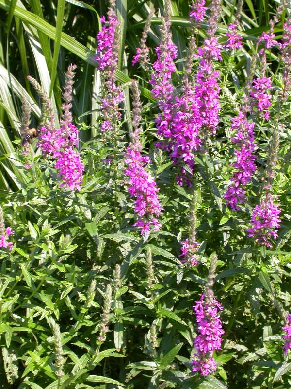 lythrum salicaria purple loosestrife - Common Purple Garden Flowers