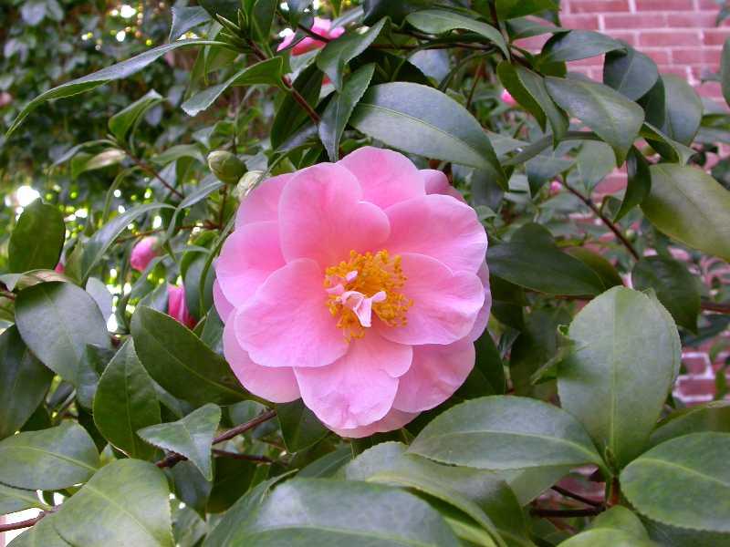 Camellia japonica plant finder