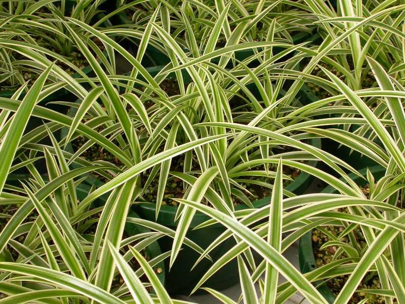 Chlorophytum comosum plant finder - Plantas colgantes de exterior ...