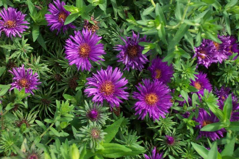 symphyotrichum novae angliae purple - Common Purple Garden Flowers