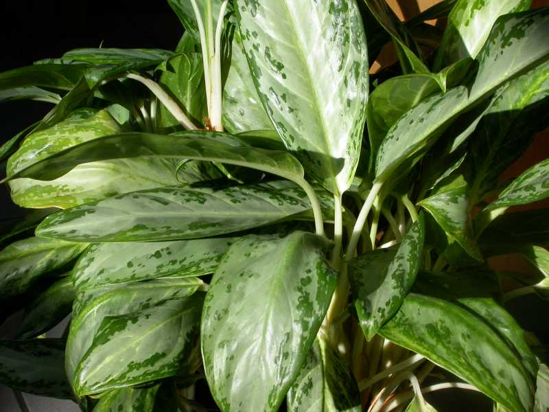 aglaonema commutatum - Identifying House Plants By Leaves