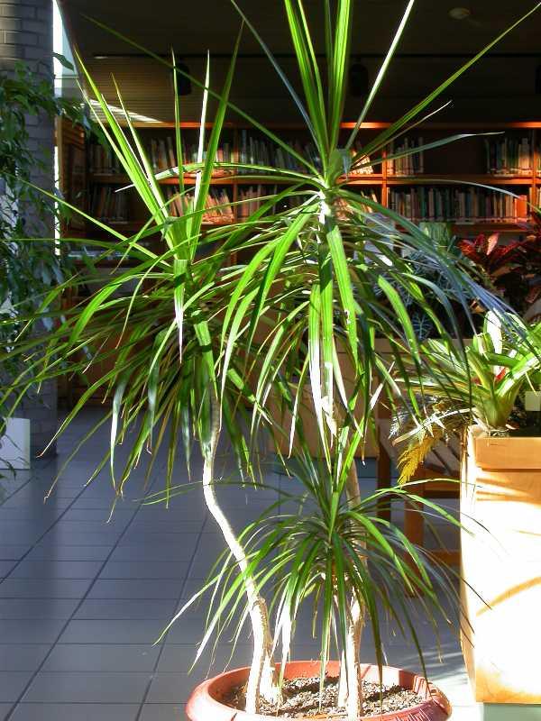 dracaena marginata plant finder. Black Bedroom Furniture Sets. Home Design Ideas