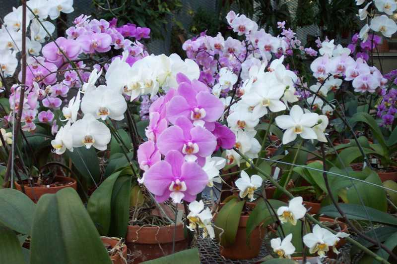 best orchid house plants. Phalaenopsis  group moth orchid Top 10 Orchids for the Home