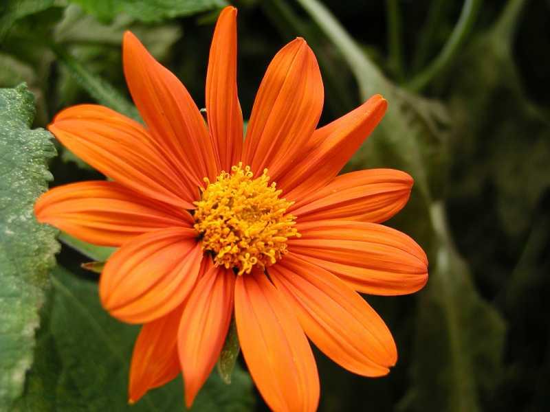 Selected perennials for oklahoma gardens tithonia rotundifolia mightylinksfo