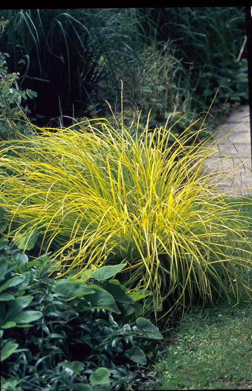 Carex 39 ice dance 39 30cm tall 5 plants per sq m full for Full sun perennial grasses