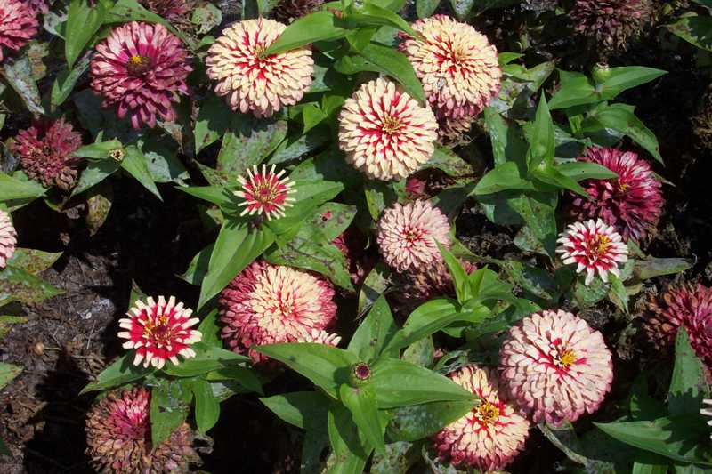 Ten best annuals for sun zinnia mightylinksfo