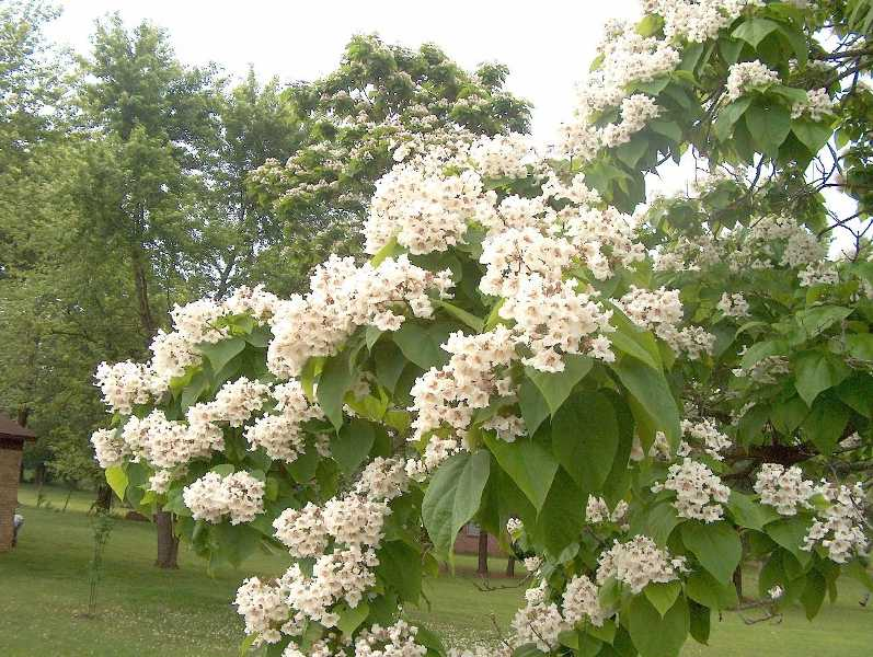 Catalpa Bignonioides Plant Finder