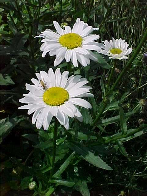 Perennials for season long bloom leucanthemum mightylinksfo