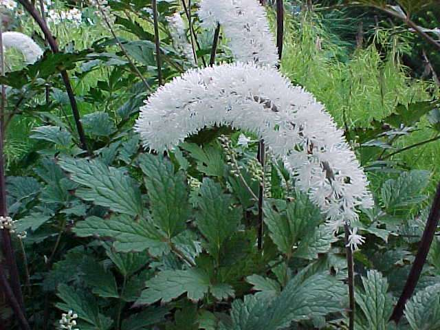 This plant s pure white blooms can really light up a shady corner in