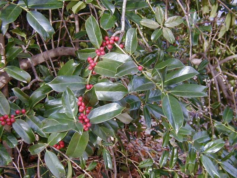 Shrubs for oklahoma gardens ilex cornuta mightylinksfo