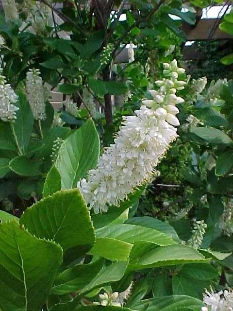 Best shrubs clethra alnifolia sweet pepperbush deciduous shrub the spicy fragrant flowers mightylinksfo