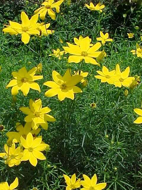 Perennials for season long bloom coreopsis verticillata mightylinksfo