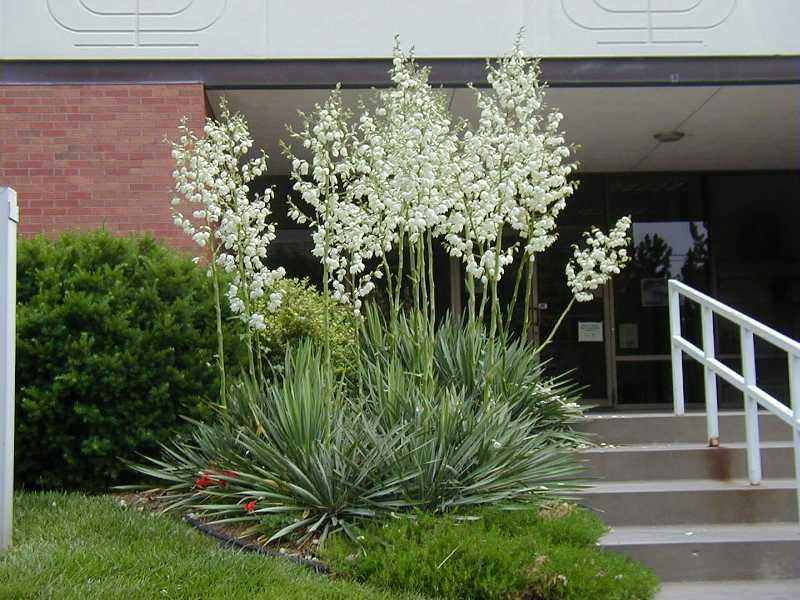yucca filamentosa plant finder. Black Bedroom Furniture Sets. Home Design Ideas