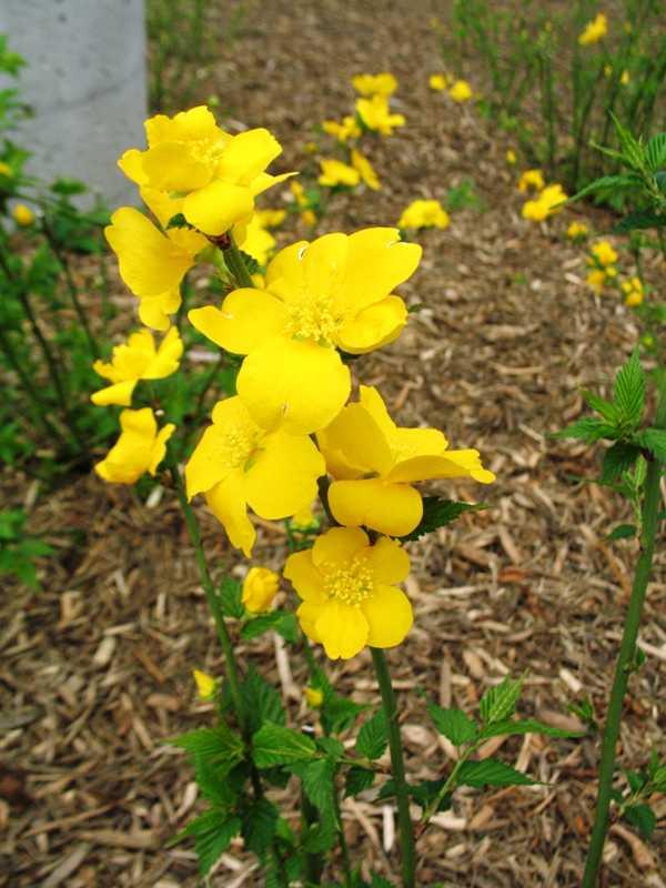 Kerria japonica 39 golden guinea 39 plant finder Missouri botanical garden plant finder
