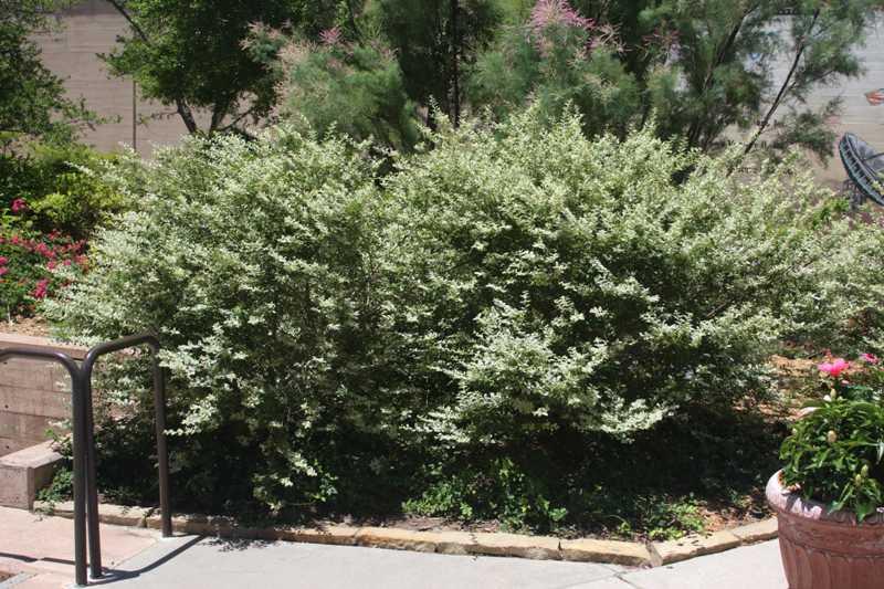 Ligustrum amurense plant finder Missouri botanical garden plant finder