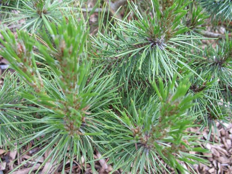 Pine diseases  The Morton Arboretum