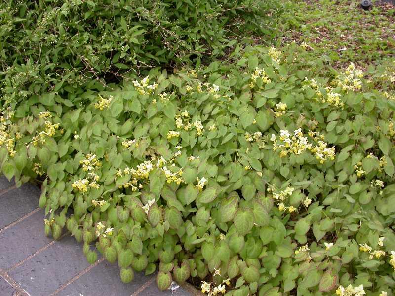 http://www.missouribotanicalgarden.org/Portals/0/PlantFinder/low/C650-0410050tap.jpg