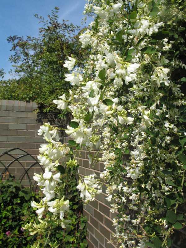 Lespedeza thunbergii 39 white fountain 39 plant finder Missouri botanical garden plant finder