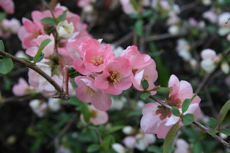 Shrubs for oklahoma gardens chaenomeles speciosa toyo nishiki flowering quince deciduous shrub mightylinksfo