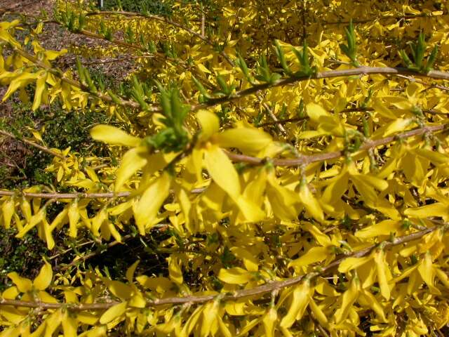 Best shrubs forsythia mightylinksfo