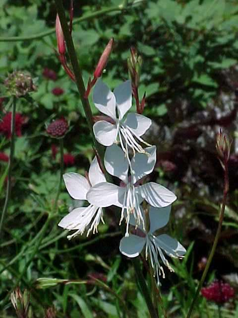 Perennials for season long bloom gaura lindheimeri gaura herbaceous perennial mightylinksfo