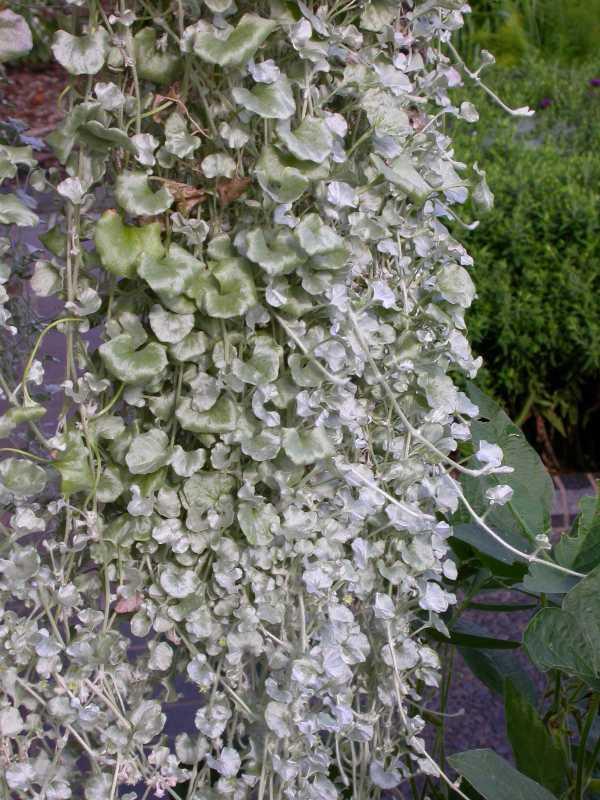 Dichondra argentea silver falls plant finder