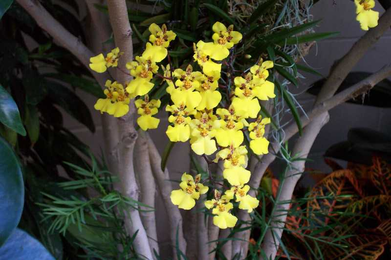 Top 10 orchids for the home oncidium group orchid mightylinksfo