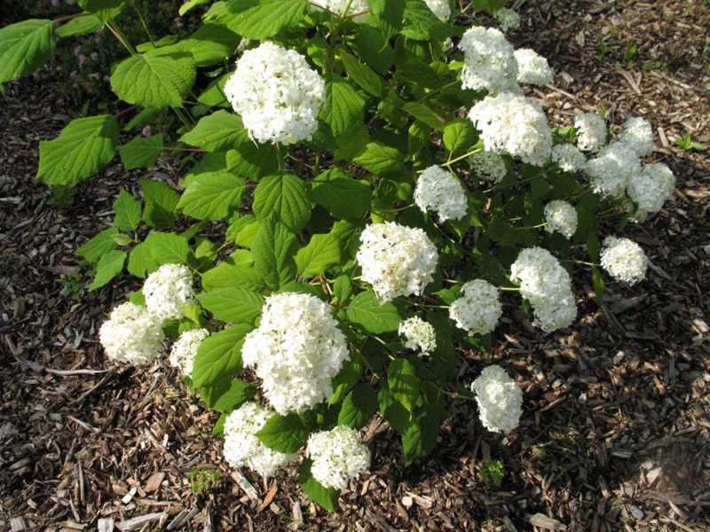 Hydrangea arborescens Ryan Gainey
