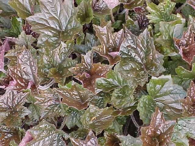 Perennials for season long bloom heuchera mightylinksfo