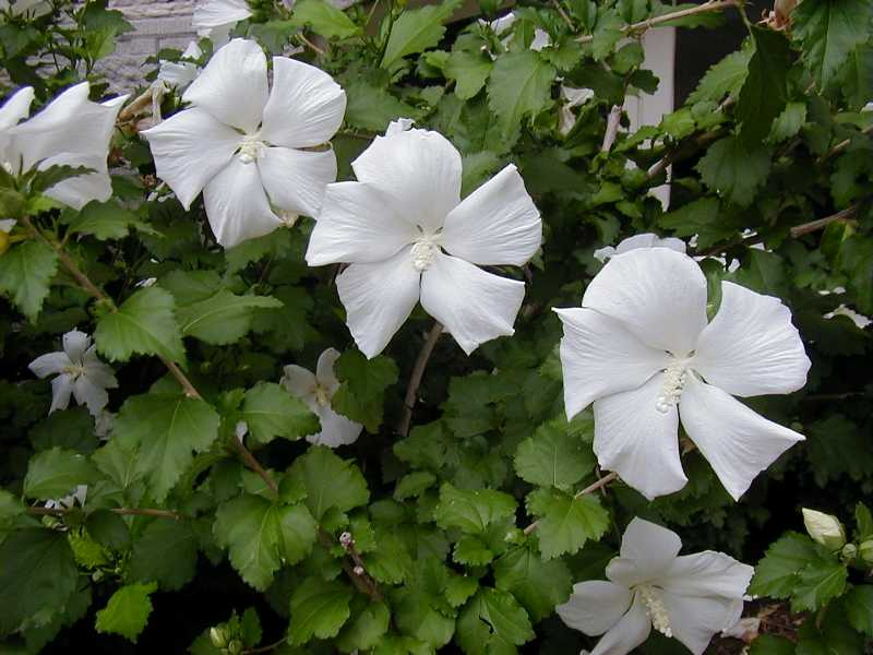 Hibiscus syriacus 39 diana 39 plant finder for Hibiscus entretien exterieur