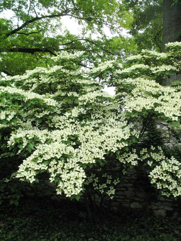 cornus kousa var chinensis 39 milky way 39 plant finder. Black Bedroom Furniture Sets. Home Design Ideas