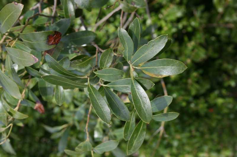 Broadleaf Evergreens For St Louis Gardens