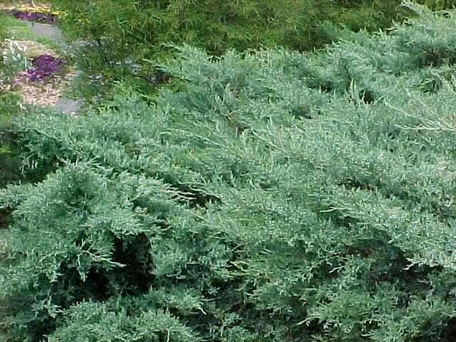 Low growing evergreen shrubs south carolina garden guru for Low growing plants for landscaping
