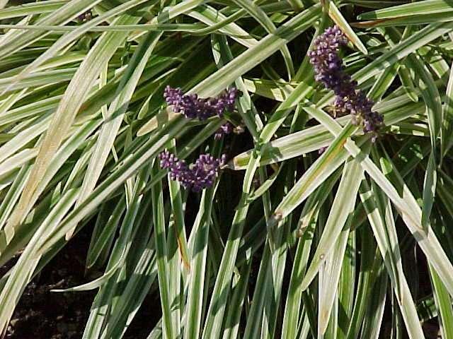 Low maintenance perennials for Low maintenance border shrubs